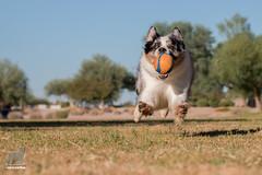 Intercept Vector (Jasper's Human) Tags: australianshepherd aussie hover zoom chuckit run fly ball