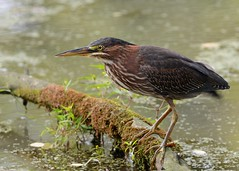 Green Heron (JDA-Wildlife) Tags: nikon nikond7100 tamronsp150600mmf563divc jdawildlife johnny birds heron herongreen greenheron wow brilliant
