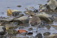 Late shots - shorebirds (Natimages) Tags: shorebirds water waterbirds beach pebbles algae riviretroispistoles stlawrenceriver