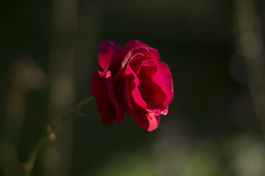 Beauty (milance1965) Tags: rose rot red redrose roterose garten macro sony a77 85mm herbst autumn