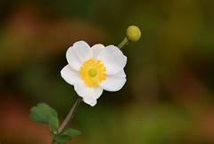 Anemone (careth@2012) Tags: anemone petals nature