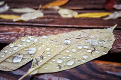 D'or et de pluie (Joanne Levesque) Tags: pluie rain automn autumn fall feuilles leaves banc bench gouttes droplets raindrops closeup nature nikon coolpixp7700 macro