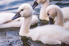 swan (bramvanderzanden) Tags: wildlife animal bird tervuren belgium