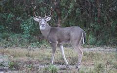 Buck. (rlbarn) Tags: deer buck whitetail