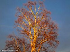 Golden Hour (rdroniuk) Tags: trees sunset birch oakville goldenhour birchtree