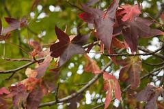Red (Dimormar!) Tags: autumn red leaves rotterdam herfst rood minimeetup meetupsrotterdam samenmethansvanderboom