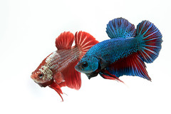 fighting fish (da nokkaew) Tags: pet fish black color eye nature water beauty swimming aquarium colorful background exotic tropical pace aquatic fighting betta isolate