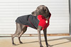 warm winter sun (VanaTulsi) Tags: dog weimaraner weim blueweimaraner vanatulsi blueweim