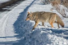 On The Move (dbushue) Tags: coyote park winter snow mountains nikon wildlife sage yellowstonenationalpark wyoming roadside ynp 2014 songdog dailynaturetnc14 photoofthedaynwf14 dailynaturetnc15 photoofthedaynwf15