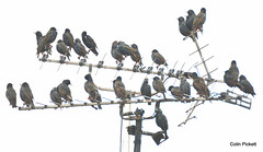 Meeting Place... (colinfpickett) Tags: family nature birds animals aerial starlings