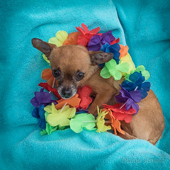 Wk9 - Dressing Up for my forever home (pix2fix) Tags: dogs noel adoption fpar