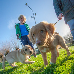 Puppy Training 1 (Explored 20150117) (Bas Bloemsaat) Tags: dog dogs training puppy retriever goldenretreiver toller explored ducktollingretriever