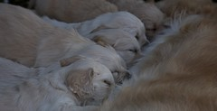 Hungry and tired (pe_ha45) Tags: goldenretriever welpen whelps
