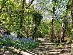 Via Turonensis - GR655ET (Martin M. Miles) Tags: france ledefrance bluebell 91 essonne tampes viaturonensis jacinthesauvage hasengloeckchen