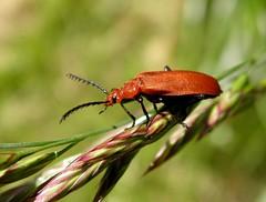 Red headed Cardinal beetle (rockwolf) Tags: france insect beetle coleoptera 2013 rockwolf pyrochroaserraticornis redheadedcardinalbeetle