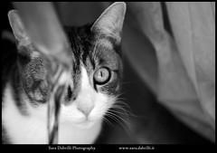 Pepito (Sara Dabrilli) Tags: italien venice italy cats cat veneza kat chat italia gato felino katze miao venise venecia gatto venedig gatti poes kater italie matou itlia itali micio flin gattino veneti gattini katachtige kattdjur