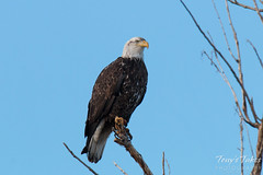 Bald Eagle poses for pictures