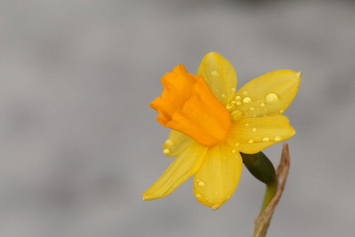 Daffodil watching out for spring
