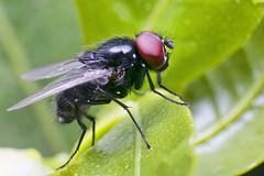 _SAM0989 (Macro junky) Tags: macro fly extreme samsung bugs 1855mm 20 reverse nx