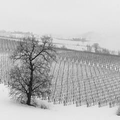 Inverno a Dogliani (giansacca) Tags: winter snow seasons hiver piemonte neve neige inverno saisons vite stagioni langhe vigneto vigna dogliani