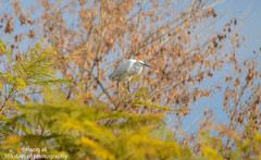 Egret taking sunbathe.. (haziq ali) Tags: pakistan bird spring nikon sigma egret islamabad sunbathe pakistaniphotographer