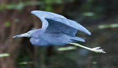 _AAC5359.jpg (Lake Worth) Tags: bird nature birds animal animals canon wings florida wildlife feathers wetlands everglades waterbirds southflorida 2xextender sigma120300f28dgoshsmsports