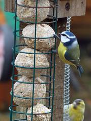 Blue tit & Siskin (SAMARA: Back in damp Scotland!) Tags: winter bird garden scotland feeding bluetit forestpark dumfriesgalloway siskin carduelisspinus cyanistescaeruleus glentrool