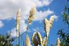Plumerillos (Agustín BA) Tags: feathers reserva ecologica plumeros cielosky plumerillos