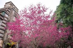 Sakura (kivx) Tags: ice maya sony sakura a7 櫻花 九族文化村 ilce7 sel2870 fe2870