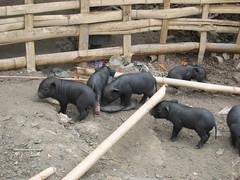 Piglets in Akha Village near Chiang Rai