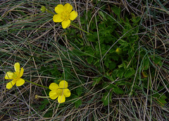 Ranunculus graniticola, Lake Catani, Mt Buffalo, VIC, 19/1