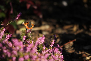 Tortoiseshell butterfly today