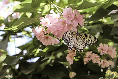 Paper Kite Butterfly (Delirious Wanderlust) Tags: pink flowers kite tree butterfly garden paper idea rice florida large tropical botanic nymph fairchild leuconoe