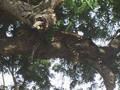 Lazy Leopard Draped Over Branch