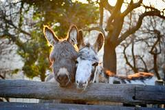 <3 Love (nina_gaisch) Tags: animal tiere donkeys esel tier djur langohr sna snor boldewynesel