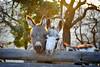 <3 Love (nina_gaisch) Tags: animal tiere donkeys esel tier djur langohr åsna åsnor boldewynesel