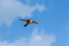 Topino (John_K_Seven) Tags: sky bird nature fly focus flight swallow birdwatching picoftheday volatile rondine topino birdflight bestoftheday canonofficial eos760d efs1585ısusm