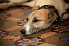 caf dog (peet-astn) Tags: caf dog floor tiles brighton