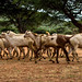 Flock of goats, Borana