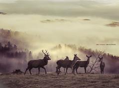 Oreinak mendian (Jabi Artaraz) Tags: jabiartaraz jartaraz zb euskoflickr animaliak animals animales ciervos manada niebla landscape paisaje natura nature naturaleza belatxikieta