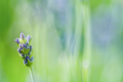 Lavender Abstraction By Bokeh And Light
