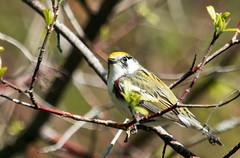 IMG_8634 Chestnut-sided Warbler (ashahmtl) Tags: ontario canada warbler songbird longpointprovincialpark chestnutsidedwarbler dendroicapensylvanica passerine norfolkcounty