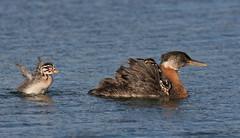 Baby Redneck (mandokid1) Tags: birds canon grebes canon500f4 idmk1v