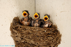 Three out of Four Say Feed Me! (Walt Snyder) Tags: bird yellow barn mud nest young chicks swallow barnswallow beaks canonef100400mmf4556l canoneos5dmkiii barnswallowyounginnest