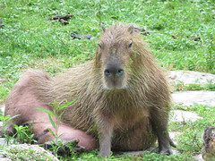 Giant Hamster (Mel's Looking Glass) Tags: giant rat capybara the hydrochoerus hydrochaeris