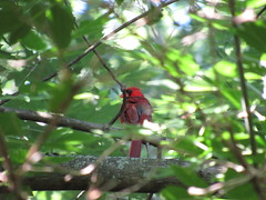 Cardinal deep in the trees. (Elmer2424) Tags: bird tree cardinal