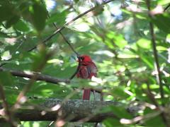Cardinal deep in the trees. (Elmer2424) Tags: bird tree cardinal