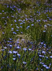 Estels blaus entre l'herba / Blue stars (SBA73) Tags: flowers blue flores beautiful azul stars blumen catalonia catalunya blau azzurro catalua blum flors catalogna katalonien catalogne pallarsjuss estels estrelles
