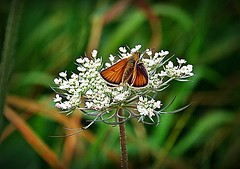 2016-07-25 wild insect and flower (37)flickr (april-mo) Tags: insect insectmacro butterfly wildflower nature nord france july summer