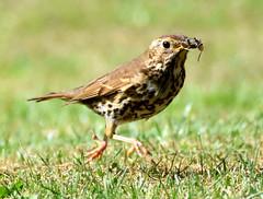 Lunch on the run. (pstone646) Tags: thrush bird nature wildlife animal closeup ashford kent feeding prey running fauna